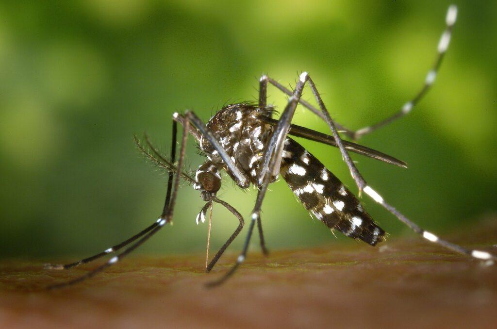 Mosquito tigre en valencia