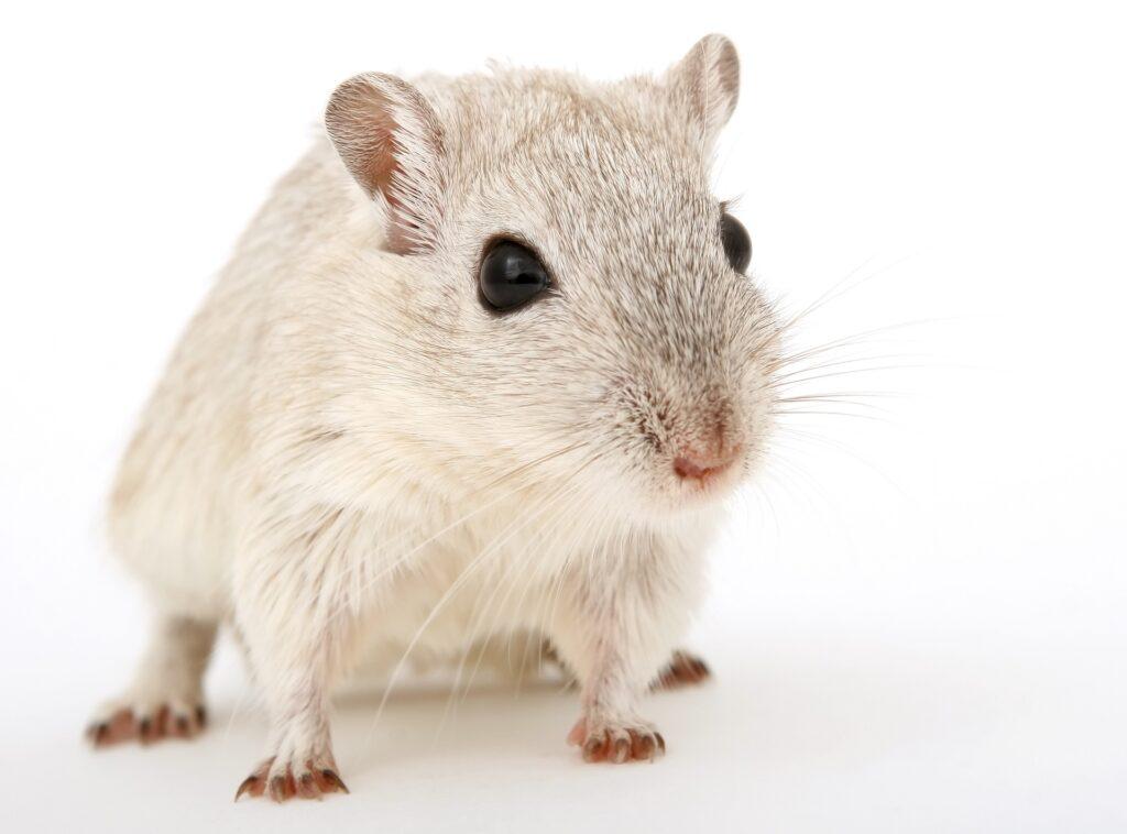 raton valencia